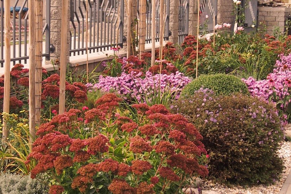 Záhrada Oldza sedum astra trvalkový záhon