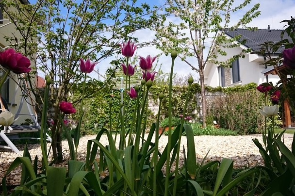 cibuloviny tulipany